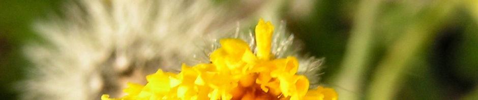 taeuschendes-habichtskraut-bluete-gelb-hieracium-fallax