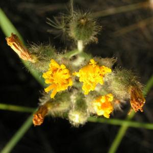 Taeuschendes Habichtskraut Bluete gelb Hieracium fallax 05