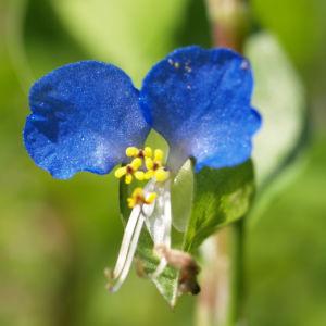 Tagblume Bluete blau Commelina communis 01