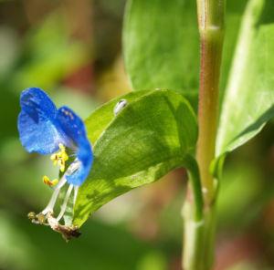 Tagblume Bluete blau Commelina communis 05