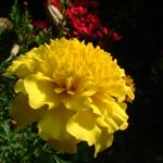 Tagetes gelb Tagetes 02