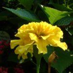 Tagetes gelb Tagetes 03