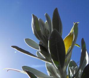 Tar Bush Emubusch Strauch Bluete gelb Eremophila glabra albicans 05