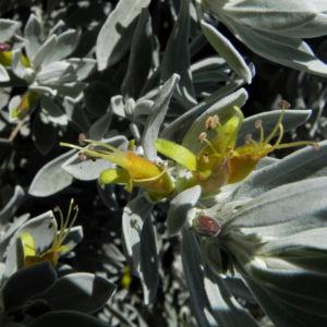 Tar Bush Emubusch Strauch Bluete gelb Eremophila glabra albicans 06