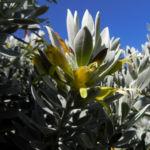 Tar Bush Emubusch Strauch Bluete gelb Eremophila glabra albicans 07