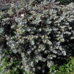 Tar Bush Emubusch Strauch Bluete gelb Eremophila glabra albicans 09