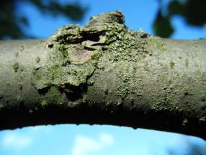 Taschentuchbaum Ast grau Davidia involucrata 02