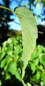 Taschentuchbaum Blatt gruen Davidia involucrata 14