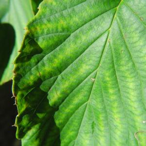 Taschentuchbaum Blatt gruen Davidia involucrata 15