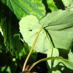 Taschentuchbaum Blatt gruen Davidia involucrata 20