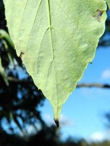 Taschentuchbaum Blatt gruen Davidia involucrata 22