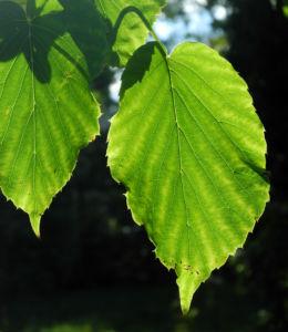 Taschentuchbaum Blatt gruen Davidia involucrata 28