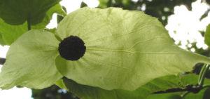 Bild: Taschentuchbaum Bluete gruenlich Davidia involucrata
