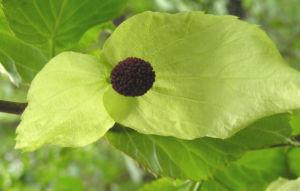 Taschentuchbaum Bluete gruenlich Davidia involucrata 06