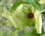 Taschentuchbaum Bluete gruenlich Davidia involucrata 07