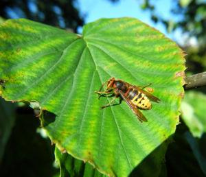 Taschentuchbaum Hornisse gelb schwarz Davidia involucrata 09
