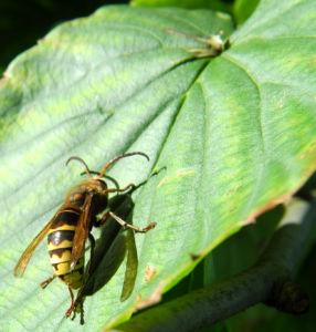 Taschentuchbaum Hornisse gelb schwarz Davidia involucrata 12