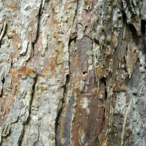 Taschentuchbaum Rinde braun Davidia involucrata 01