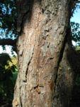 Bild: Taschentuchbaum Blatt grün Davidia involucrata