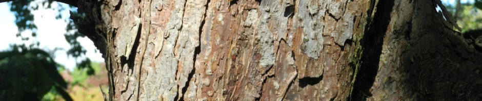 Anklicken um das ganze Bild zu sehen Taschentuchbaum Blatt grün Davidia involucrata
