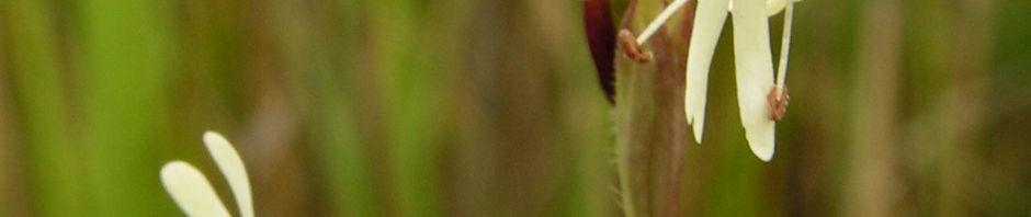 Anklicken um das ganze Bild zu sehen Tataren-Leimkraut Blüte weiß Silene tatarica