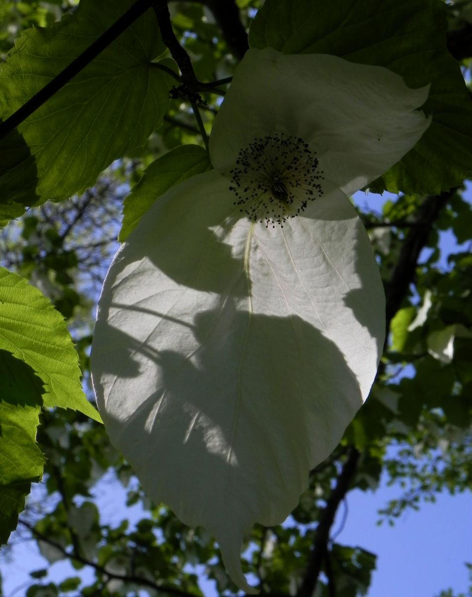 Taubenbaum Bluete weiss Davidia involucrata