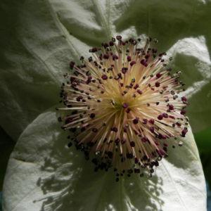 Taubenbaum Bluete weiss Davidia involucrata 13
