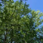 Bild: Taubenbaum Rinde Blatt Blüte weiß Davidia involucrata