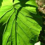 Bild: Taubenbaum Frucht Davidia involucrata