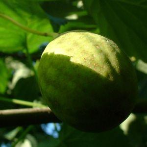 Taubenbaum Frucht Davidia involucrata 03