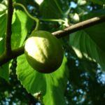 Taubenbaum Frucht Davidia involucrata 04