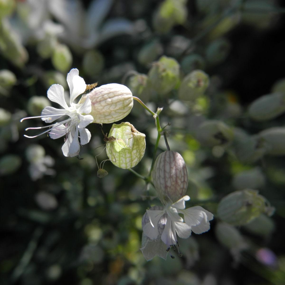 Taubenkropf Leimkraut Bluete weiß Silene vulgaris