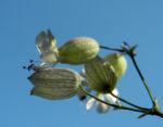 Taubenkropf Leimkraut Bluete weiß Silene vulgaris 08