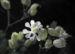 Zurück zum kompletten Bilderset Taubenkropf-Leimkraut Blüte weiß Silene vulgaris