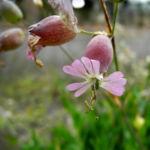 Taubenkropf-Lichtnelke-Bluete-weiss-Silene-vulgaris06
