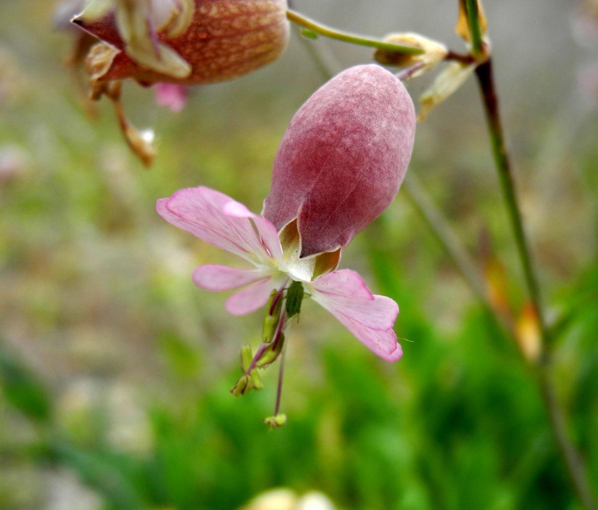 Taubenkropf-Lichtnelke-Bluete-weiss-Silene-vulgaris