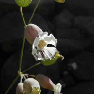 Taubenkropf-Lichtnelke-Bluete-weiss-Silene-vulgaris09