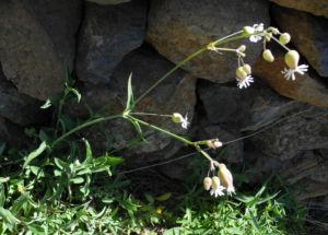 Taubenkropf-Lichtnelke-Bluete-weiss-Silene-vulgaris14