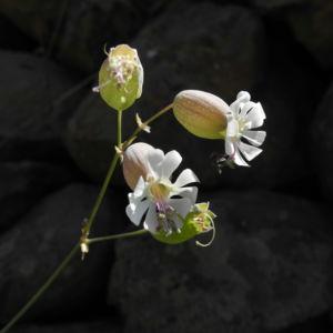 Taubenkropf-Leimkraut Blüte weiß Silene vulgaris