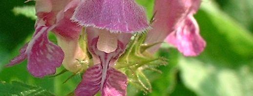 Anklicken um das ganze Bild zu sehen Gefleckte Taubnessel Blüte lila Lamium maculatum