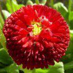 Tausendschoen rot bluehend Bellis perennis 01