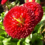 Tausendschoen rot bluehend Bellis perennis 05