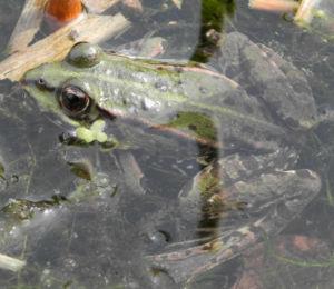 Teichfrosch gruen Rana esculenta 05