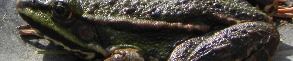 teichfrosch-gruen-rana-esculenta