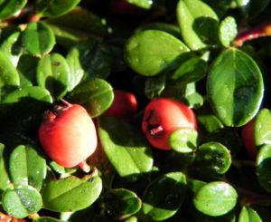 Teppich Zwergmispel Blatt gruen Frucht rot Cotoneaster dammeri 02