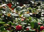 Teppich Zwergmispel Blatt gruen Frucht rot Cotoneaster dammeri 04