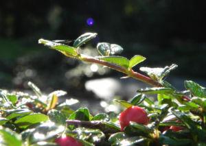 Teppich Zwergmispel Blatt gruen Frucht rot Cotoneaster dammeri 07