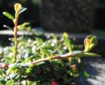 Bild: Teppich-Zwergmispel Blatt grün Frucht rot Cotoneaster dammeri