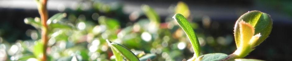 teppich-zwergmispel-blatt-gruen-frucht-rot-cotoneaster-dammeri
