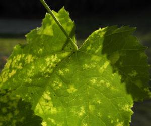 Thompson Schoenmalve Blatt gruen gelb Abutilon pictum Thompsonii 04